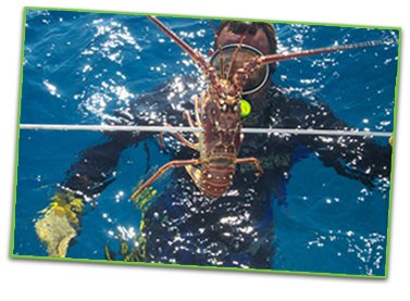 Photo of a snorkeler with a lobster